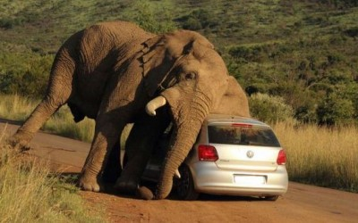 This Itchy Elephant Found The Best Scratching Post: A VW Hatchback.
